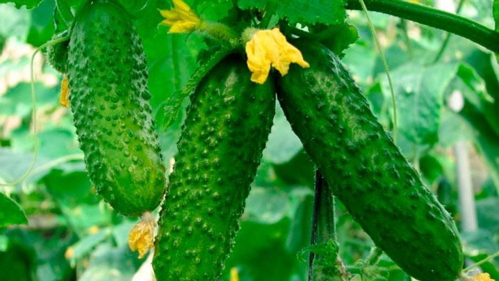 АО «Тепличное» произвело более 8 тыс. тонн овощей